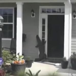 Alligator Rings Doorbell still